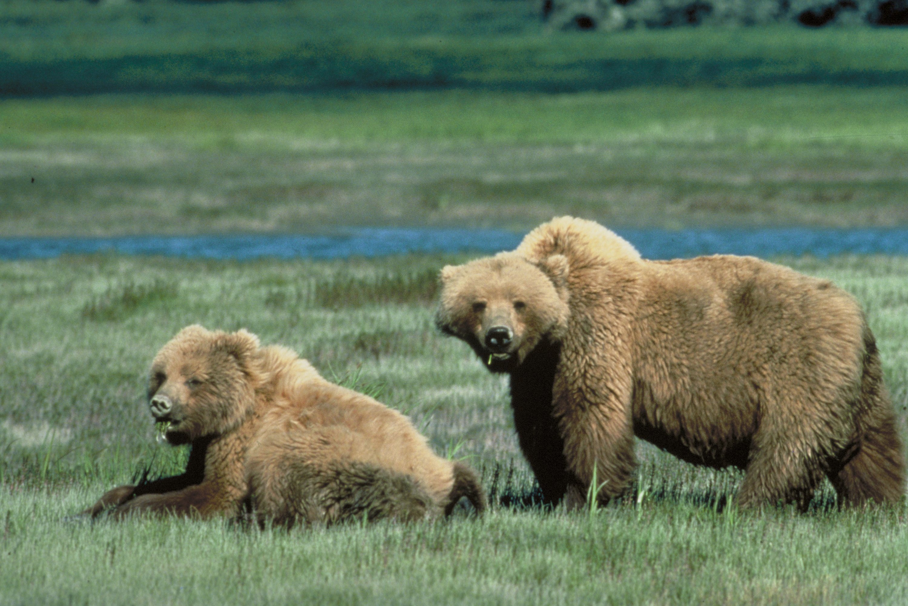 What do you think about the delisting of the Yellowstone Grizzly Bear?