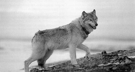 A collared wolf in the Yukon. PHOTO COURTESY NATIONAL PARK SERVICE.