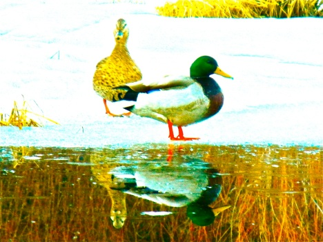 Waiting for spring at the edge of the Meadow Creek wetlands. A little manipulation with iPhoto helped give this image some extra zing.