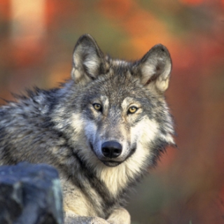 "The leader of the new Summit County wolf pack, dubbed ""John Denver"" by federal biologists. PHOTO COURTESY USFWS."