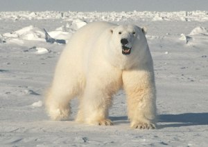 Polar bears catch a bit of break, as sampling in one area shows a drop in levels of toxic PCBs. PHOTO COURTESY USGS.