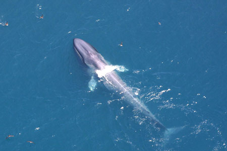 Blue whales stand a good chance of rebuilding genetically healthy populations.
