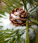 Lodgepole pine cone, Oct. 7, 2012.