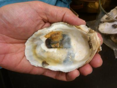 Caption: Oyster shells like this one, collected from the Gulf of Mexico after the Deepwater Horizon oil spill, have been shown to contain higher concentrations of three heavy metals common in crude oil -- vanadium, cobalt, and chromium -- than specimens collected before the spill.
