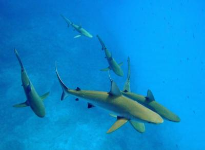 Curious gray reef sharks (Carcharhinus amlyrhynchos) at Kure Atoll in the Papahanaumokuakea Marine National Monument, Hawaii were studied as part of a study published April 25 in the journal Conservation Biology. An international team of marine scientists provide the first estimates of reef shark losses in the Pacific Ocean using underwater surveys conducted over the past decade across 46 US Pacific islands and atolls, as part of NOAA's extensive Pacific Reef Assessment and Monitoring Program. The team compared reef shark numbers at reefs spanning from heavily impacted ones to those among the world's most pristine. The results are sobering. PHOTO COURTESY P. AYOTTE.