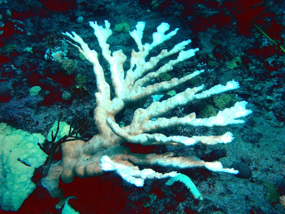 Bleached elkhorn coral. PHOTO COURTESY NOAA.