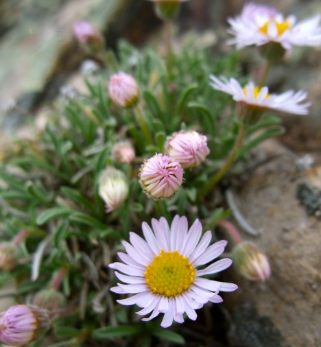 Some Alpine plant species are likely to become isolated in climatic traps. PHOTO BY BOB BERWYN.