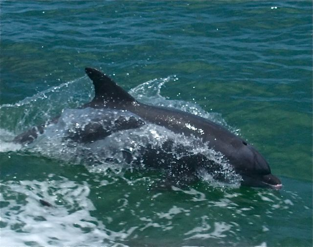 Dolphins off the coast of Florida have been exposed to more mercury than captive dolphins fed a controlled diet. PHOTO BY BOB BERWYN.