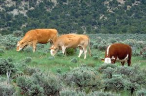 Cattle grazing continues to degrade vast tracts of public lands in the West. PHOTO COURTESY BLM.