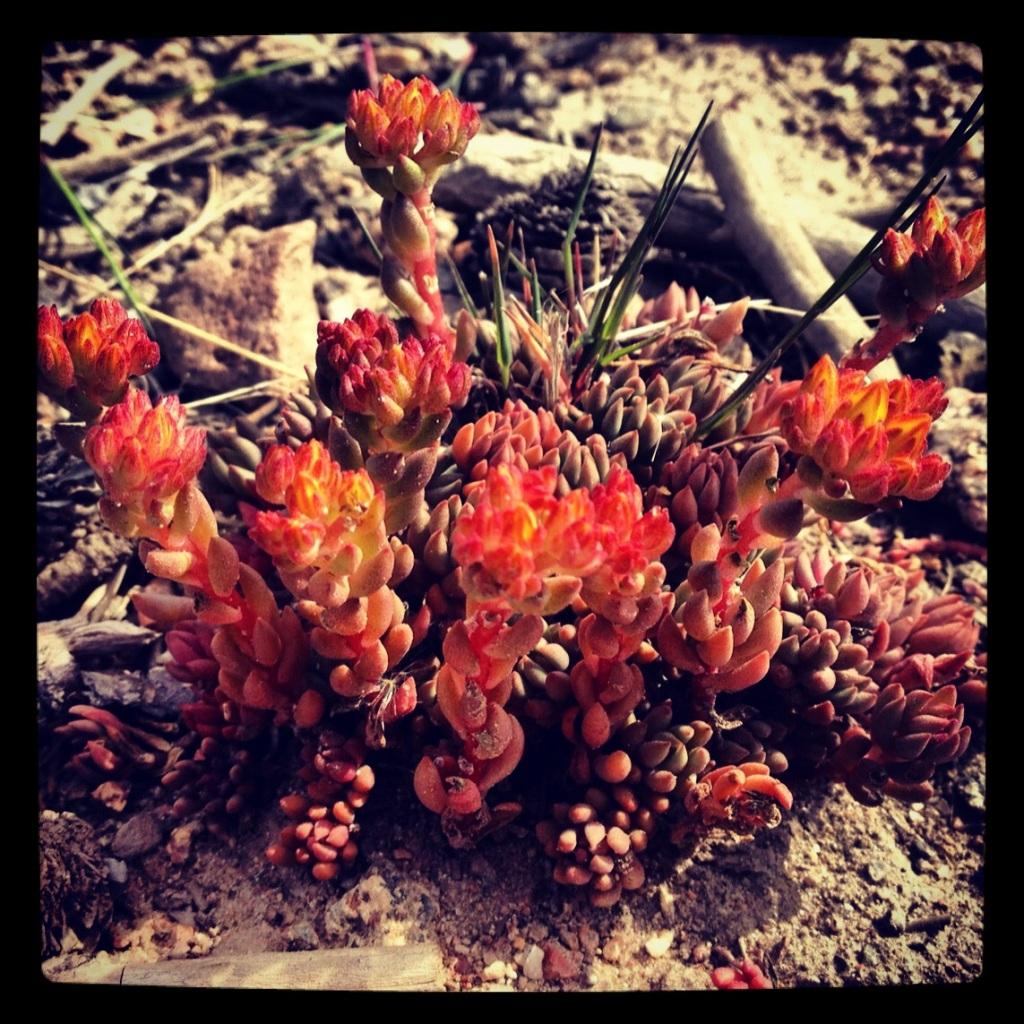 Sedum blooming in Frisco, Colorado.