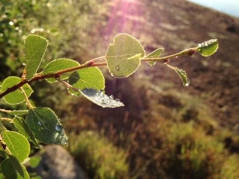 Early morning sunshine highlights dew drops on aspen leaves.