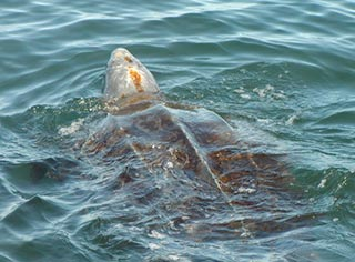 A leatherback sea turtle at sea. Photo courtesy NOAA.