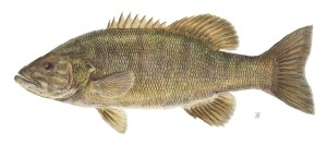 Smallmouth bass illegally introduced to Colorado waters threaten native fish.