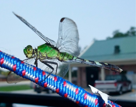 A dragonfly takes a short rest on a Bungee cord holding down roof luggage on our car during last summer's road trip.
