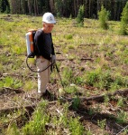 Summit County weed warrior John Taylor searches for invasive plants in a clearcut area near Straight Creek.