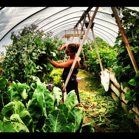 Kyla Laplante harvests edible borage flowers at the community garden greenhouse in Frisco, Colorado.