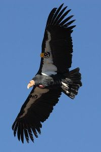A tagged California condor in flight.