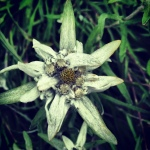 Edelweiss in the Breckenridge Alpine Garden.