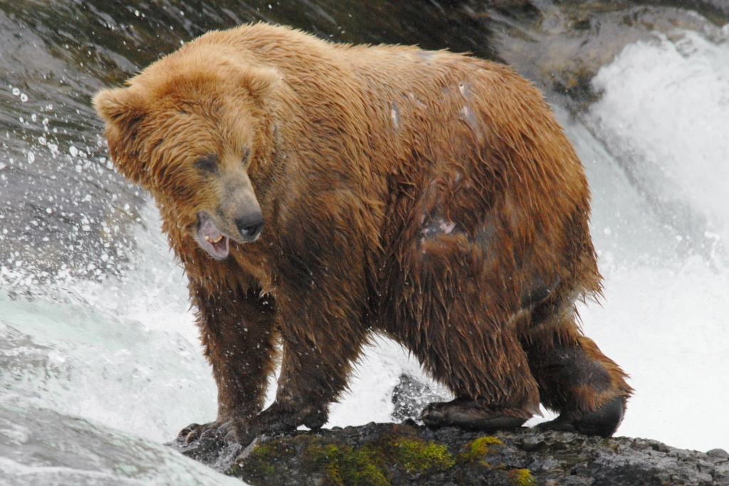 A grizzly boar on the Brooks River in Alaska. Photo by Kim Fenske.