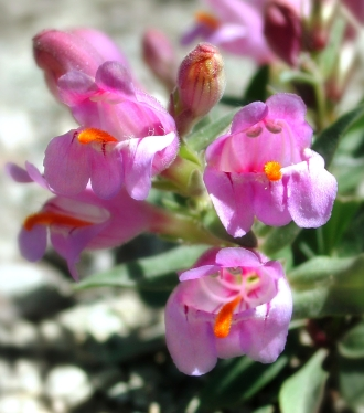 The rare Graham's penstemon grows primarily in the oil and gas patches of western Colorado and Utah. Photo courtesy Susan Meyer.