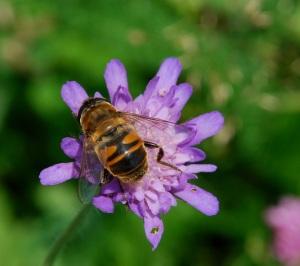 A honeybee gathers pollen on a wildflower in Austria.