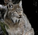 Summit County is part of an important north-south movement corridor for lynx. Photo by Tanya Shenk/Colorado Division of Wildlife.