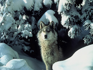 Gray wolf in the winter woods. Photo courtesy USFWS.