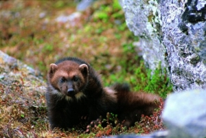 Wolverine. Photo courtesy Roy Anderson/USFWS.