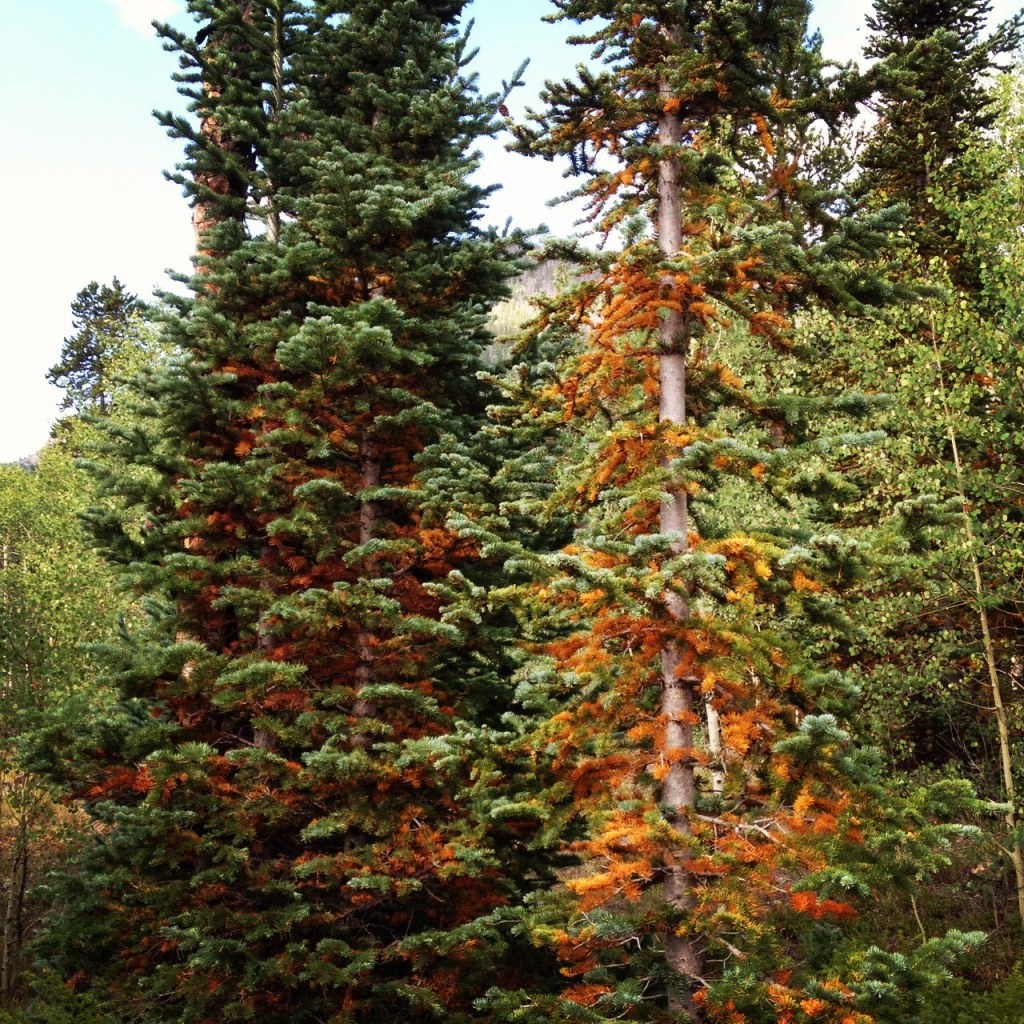 Spruce and fir mortality is on the increase in Colorado.