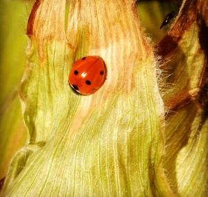 A ladybug enjoys a leisurely stroll in an organic Austrian corn field.