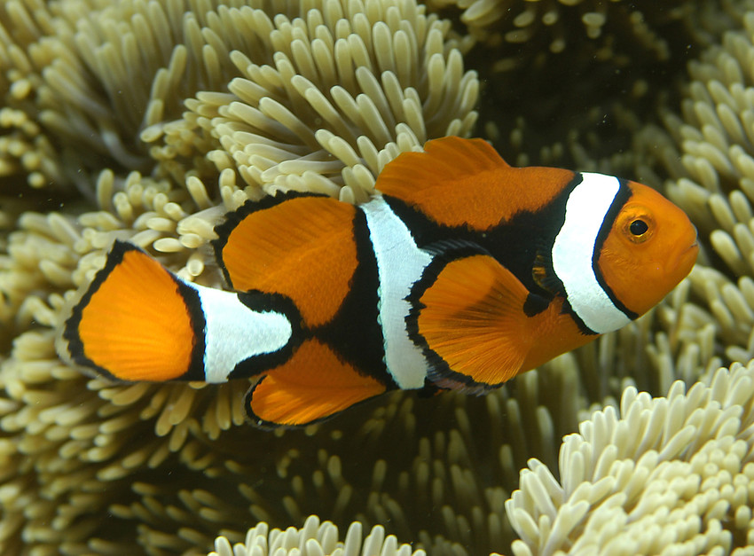 World animal endangered animals for kids for What kind of fish is nemo