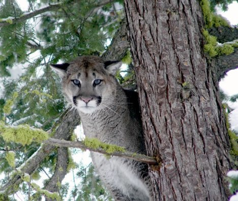 A Washington cougar. Photo courtesy Rich Beausoleil/Washington Department of Fish and Game.