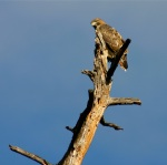 This red-tailed hawk was keeping a close eye on me.