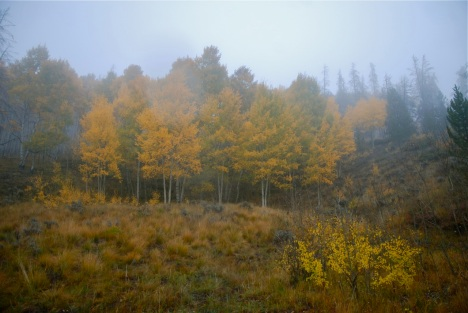 Aspens in the mist.