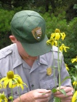 Rocky Mountain National Park biologist Jim Cheatham checks a wildflower for ozone damage. Photo courtesy RMNP.