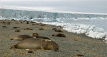 Global warming is rapidly changing coastal ecosystems along the Antarctic Peninsula, where ice-dependent species are having a hard time keeping up with the pace of change.
