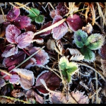One more show of bright autumn wild strawberry leaves tinged with frost.