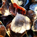 Frosty aspen leaves.