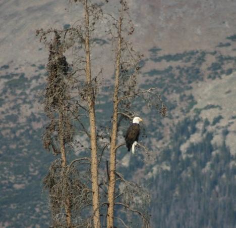 Bald eagle, looking toward Buffalo Mountain.
