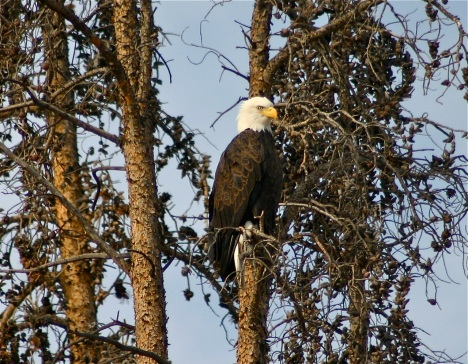 One of Summit County's resident bald eagles finds a vantage point along the shore of Dillon Reservoir.