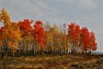 Brilliant fall colors on the Giberson Reserve in Frisco, Colorado.