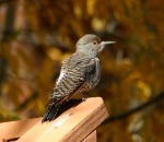 A red-shafted flicker stands out against the shadows of cottonwoods and aspens in Frisco, Colorado.