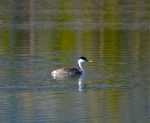 I'm getting closer to getting the shot I want of the Clark's grebes spending a few days at Dillon Reservoir on their southward migration. But I don't think they'll be around much longer.
