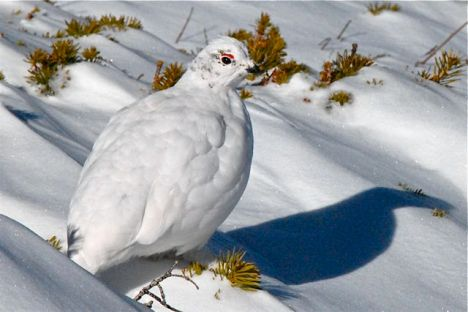 Ptarmigan in winter plumage.