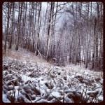 Snowy aspens.