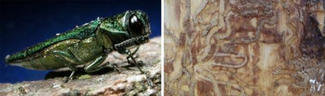 A close up of an Emerald Ash Borer insect and the feeding tunnels the insects create under ash bark. Insect Photo: David Cappaert, Michigan State University. Tunnel Photo: NPS Photo