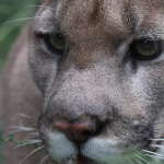 MountainLion_CopyrightColwell