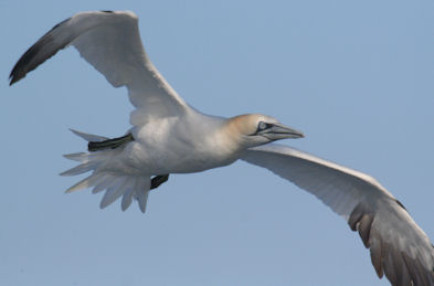 Gannets in the English Channel could be affected by proposed offshore wind power developments.