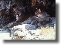 Two mountain lions rest in a shady spot. Photo courtesy USFWS.