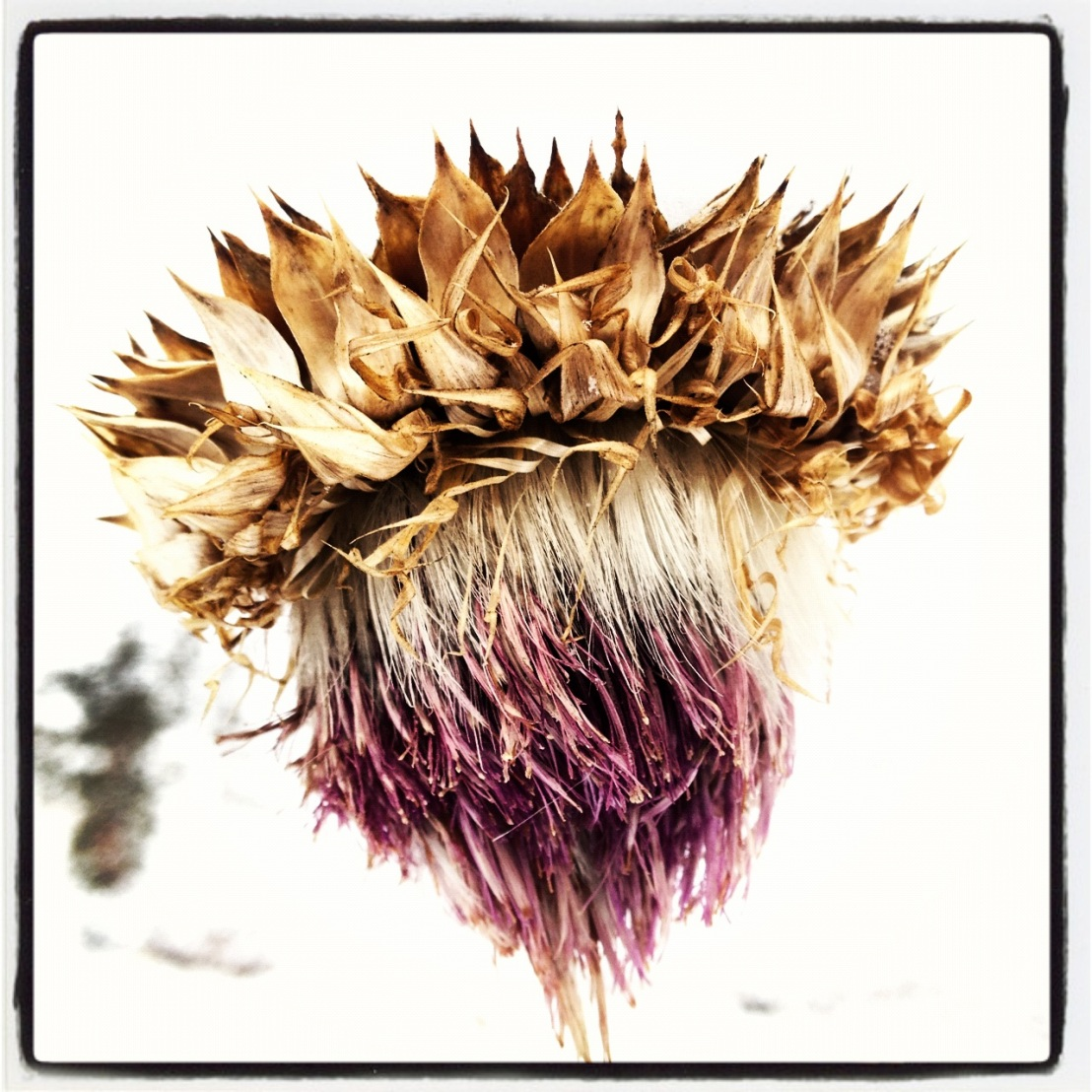 "Portrait of a thistle in winter: ""He wore his passion for his woman like a thorny crown."""